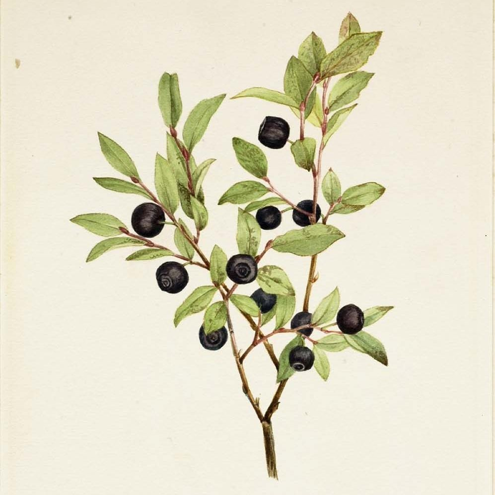 Painting of black huckleberry plant